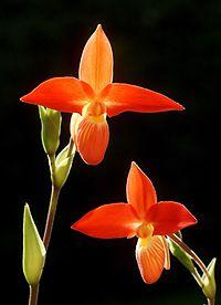 Phragmipedium besseae Orchi 2012-10-17 001.jpg