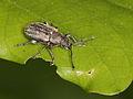 Phyllobius pyri ? (Curculionidae) (10136483353).jpg