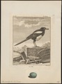 Pica caudata - 1700-1880 - Print - Iconographia Zoologica - Special Collections University of Amsterdam - UBA01 IZ15700185.tif