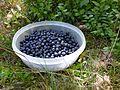 Picking blueberries b.JPG