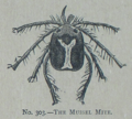 Picture Natural History - No 303 - The Mussel Mite.png