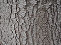 Picture of tree bark (kora).jpg