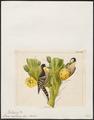 Picus cactorum - 1820-1860 - Print - Iconographia Zoologica - Special Collections University of Amsterdam - UBA01 IZ18700109.tif