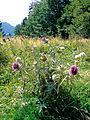 Pieniny – Ostrożeń głowacz (Cirsium eriophorum) 02.jpg