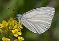 Pieris virginiensis on wild mustard, USA - 20030504.jpg