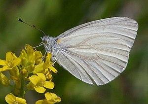 Pieris virginiensis - On wild mustard