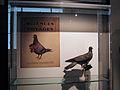 Pigeon photographe.jpg