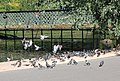 Pigeons feeding near Clarence Bridge, Regents Park - geograph.org.uk - 1370464.jpg