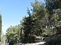 PikiWiki Israel 29151 Ben Gurion Cedar in Jerusalem Forest.JPG