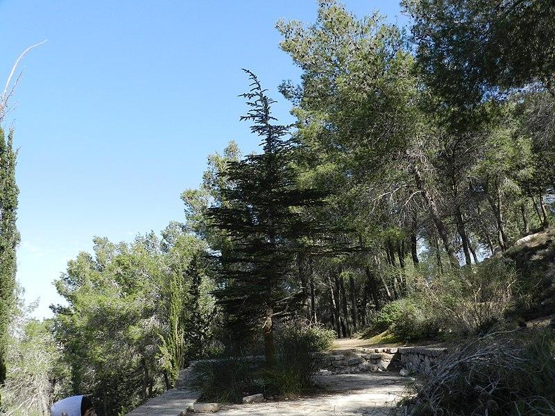 ארז בן גוריון ביער ירושלים