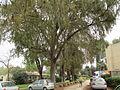 PikiWiki Israel 34771 Taxodiun Distichum in Kfar Blum.JPG