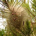 Pine Processionary-moth Caterpillars (32216646875).jpg
