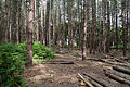 Pine plantation at Theydon Mount Essex England 02.jpg