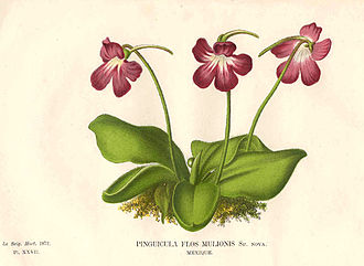 Pinguicula moranensis - A print of P. caudata from Morren's work (1872)