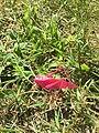 Pink Grasshopper with Erythrism found in Kelleys Island, Ohio.jpg