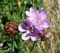 Pink flower macro (7036053881).jpg