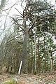 Pinus densiflora (Sarunomatsu on Mount Tokura s2).jpg