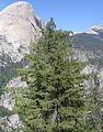 Pinus lambertiana near Half Dome.jpg