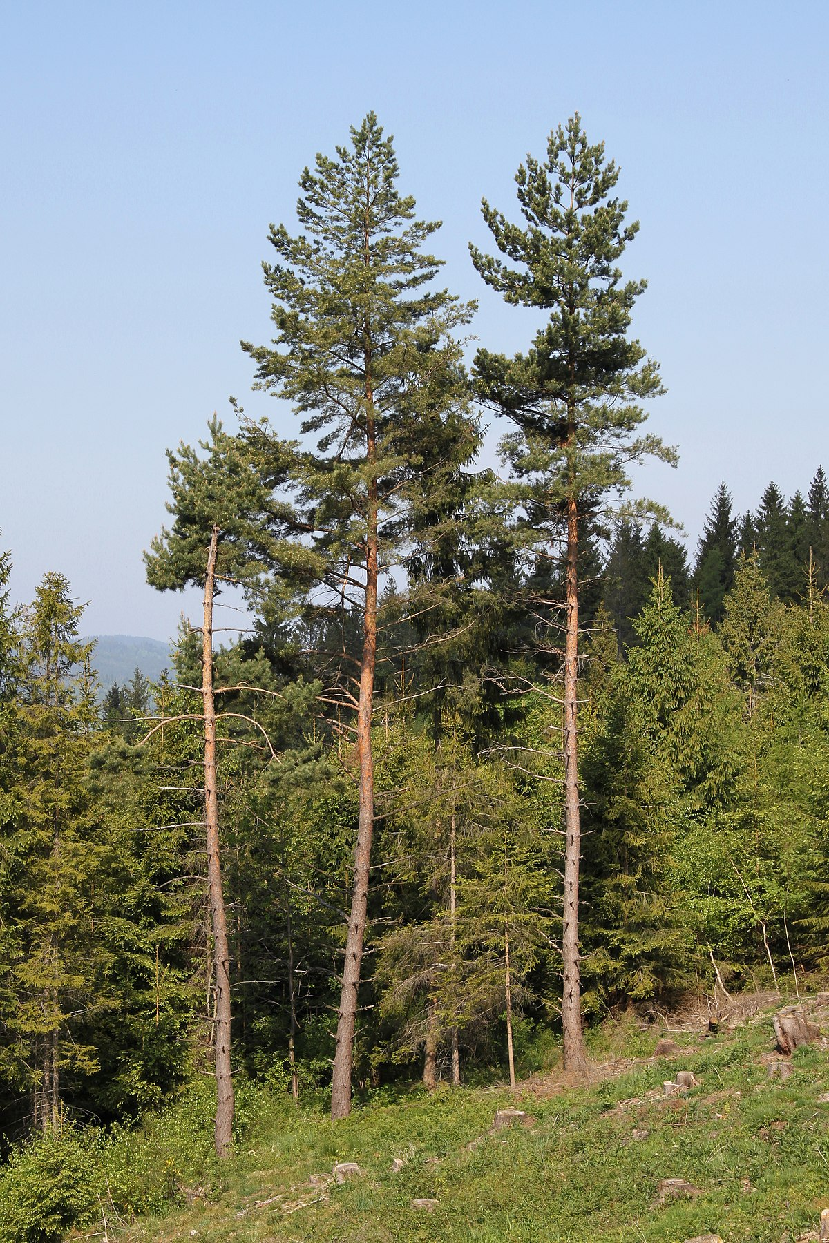Pine norsk