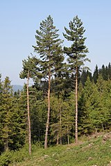 Borovice lesné