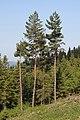 Pinus sylvestris Beskid Żywiecki.JPG