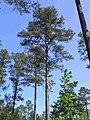 Pinus taeda crossett exp forest.jpg