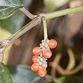 Piper kadsura (fruits s5).jpg
