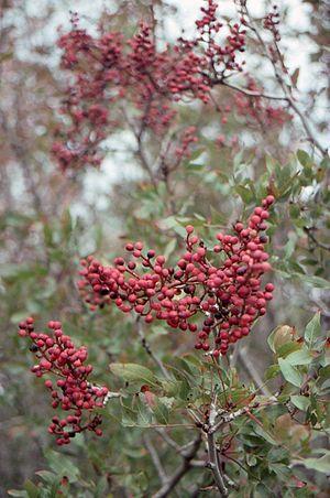 Pistacia terebinthus - Pistacia terebinthus in Yenifoça, Turkey.