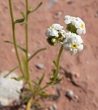 Plagiobothrys jonesii 2.jpg