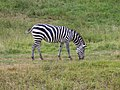 Plains Zebra.jpg