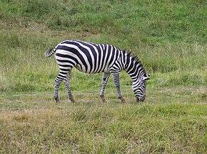 Ouvrages concernant le Cheval 290px-Plains_Zebra