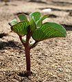 PlantChaparrales02.JPG