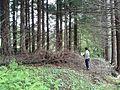 Plantación de sequoia sempervirens en Fontao, Foz.jpg