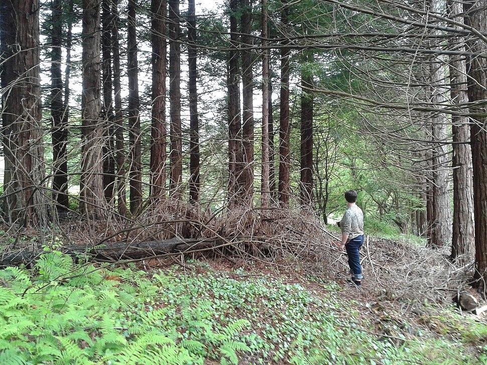 Plantación de sequoia sempervirens en Fontao, Foz