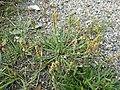 Plantago coronopus sl56.jpg