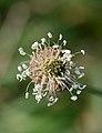 Plantago lanceolata, smalle weegbree.jpg