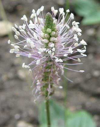 Pollination syndrome - Plantago media, pollinated by wind or insects
