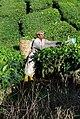 Plantation worker.jpg