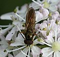 Platycheirus sp. (male) - Flickr - S. Rae (9).jpg
