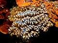 Plerogyra sinuosa (Bubble coral).jpg