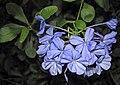 Plumbago auriculata (blue plumbago) (Sanibel Island, Florida, USA) (25139955685).jpg