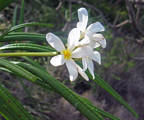 Description de l'image Plumeria alba2709449426.jpg.