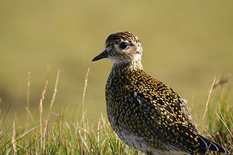 European golden plover - In Iceland