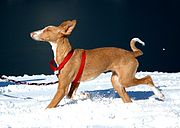 Female Ibizan Hound