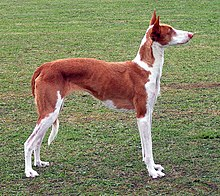 Gifts for Ibizan Hound Dog Lovers