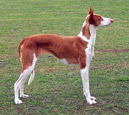 Anjing Pemburu Ibiza Wikiwand