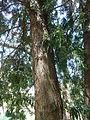 Podocarpus henkelii, a, Pretoria NBT.jpg