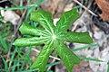 Podophyllum peltatum (mayapple) (Newark, Ohio, USA) 2 (49082655868).jpg