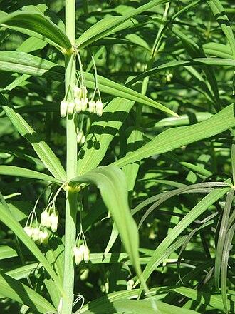 Polygonatum - Polygonatum verticillatum