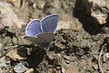 Polyommatus icarus - Çokgözlü mavi 08.jpg